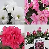 철쭉 아젤리아 연산홍 방울기리시마 레오폴드 핑크프라이드 청양 금황|