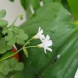 분재사랑초  묵은둥이  흰색|