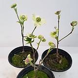 산딸나무(레몬옐로우,랜덤발송) 