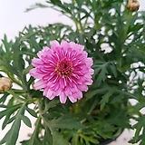 분홍겹꽃목마가렛 