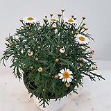 목마가렛중품(흰꽃) 