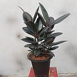 흑고무나무  오건디고무나무  키  70~80cm|Ficus elastica