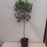 올리브 나무/높이120센치|