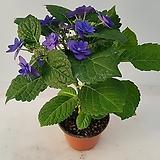 블루수국(외대) Hydrangea macrophylla