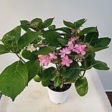 댄스파티수국(피기시작하네요) Hydrangea macrophylla