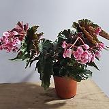 베고니아 Begonia
