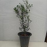 올리브 나무/높이 85센치 