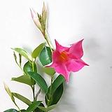 핑크빛~만다빌라(2포트 한묶음) |