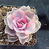 Echeveria rainbow