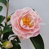겹오색동백(꽃대수형/A)-동일품배송