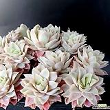 로즈퀸금|Graptoveria Rose Queen