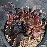블랙캐시미어철화 Aeonium Velour
