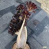 흑법사철화30센티 Aeonium arboreum var. atropurpureum