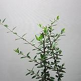 올리브나무C166-외목대,동일품배송|