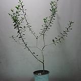 올리브나무C167-외목대,동일품배송|