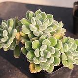 금사황826|Echeveria setosa Hybrid