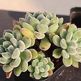 금사황822|Echeveria setosa Hybrid