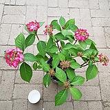 산수국|Hydrangea macrophylla