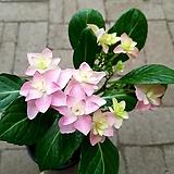 댄스파티 수국|Hydrangea macrophylla