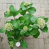 팝콘수국-1|Hydrangea macrophylla