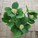 팝콘수국-2|Hydrangea macrophylla
