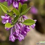 보랏빛 팥꽃나무 외목수형 화분상품♥보라색 꽃나무♥봄꽃나무|