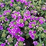 꽃이 잘피는~버베나(4포트 한묶음) |