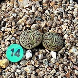 위트버젠스 rr714 H타입(대형종)|Conophytum Wittebergense