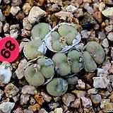 코노피튬 소형종|Conophytum