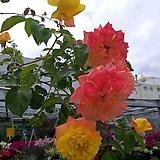 4계명품수입넝쿨장미.스펙트라.(노랑에서주황색으로변함)(예쁜기본형꽃형).몰약향기.꽃이큼.아주예뻐요.울타리.넝쿨장미.월동가능.상태굿..늦가을까지 피고 합니다.
