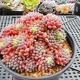 묵은룬데리(49) Echeveria setosa v deminuta