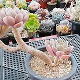 핑크프리티(731) Echeveria Pretty in Pink