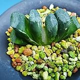옥선 신품종 백산반 금|Haworthia truncata