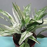 수입식물,무늬 스파트필름,도미노,중대품C191-동일품배송|