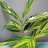 수입식물,칼라데아 알피나 제룸벳C192-동일품배송|