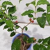 열매 커피나무/공기정화식물/반려식물/온누리 꽃농원|