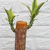 ♥행운목 공기정화식물 ♥칼라 행운목 |