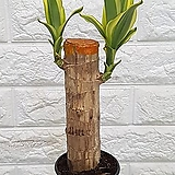 ♥칼라 행운목 ♥행운목 공기정화식물|