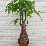 ♥파키라20 공기정화식물♥|