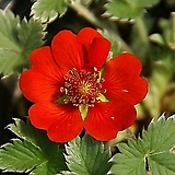 알프스빨간양지꽃