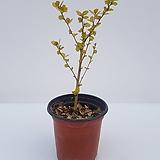황금자작나무(왜성종)-잎이 나오기 시작했어요!!!|