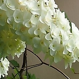 떡갈잎수국(겹꽃)|