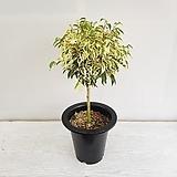 칼라벤자민/공기정화식물/반려식물/온누리 꽃농원|