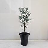 유칼립투스/공기정화식물/반려식물/온누리 꽃농원|