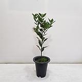 월계수나무/공기정화식물/반려식물/온누리 꽃농원|