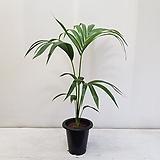 오리지널 겐차야자/공기정화식물/반려식물/온누리 꽃농원|