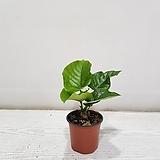 휘카스 움베르타 소형/공기정화식물/반려식물/온누리 꽃농원|