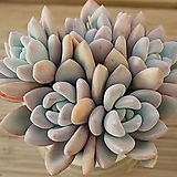 오팔리나합식 0328-87|Graptoveria Opalina