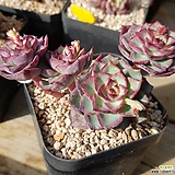 댄싱버드|Echeveria Dancing Bird