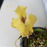 노랑게이비붓꽃(묵은주) 